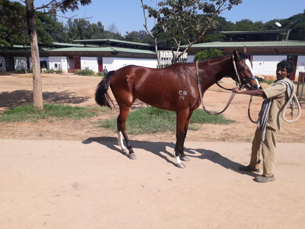 Thorough breed jumper and very calm horse mare