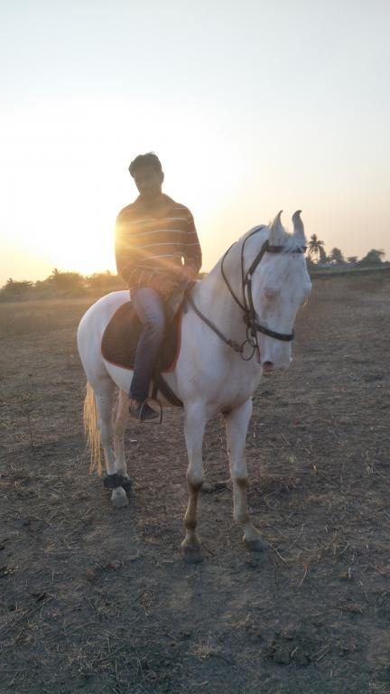 Searching for Marwari rewal chaal perfect two teeth mare ghodi